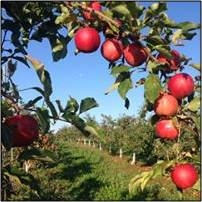 Brantview Apples: Tractor Rides, Corn Maze, Pick your own Apples & Pumpkin Patch
