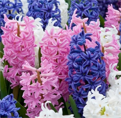 "JoRo Flowers 6"" Potted HYACINTHS for $10"