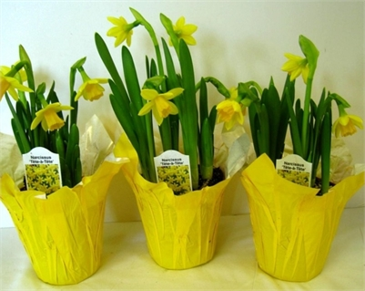 "JoRo Flowers DAFFODIL Bouquets for $20 or 4"" Pots ... 3 for $20"